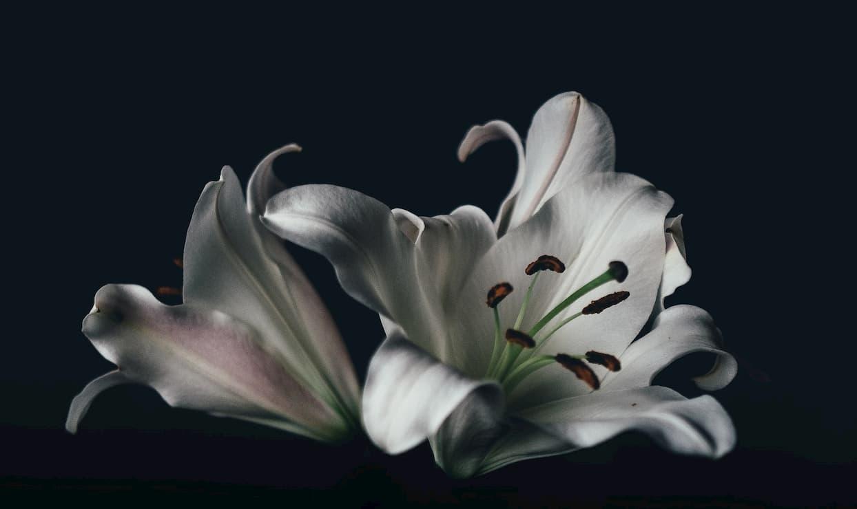 「百年目に咲くユリの花のようですね」